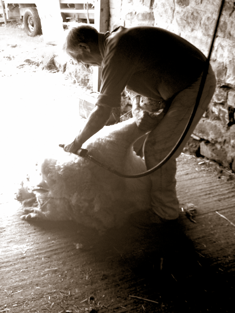 Nev Spenceley shearing sheep in our barn