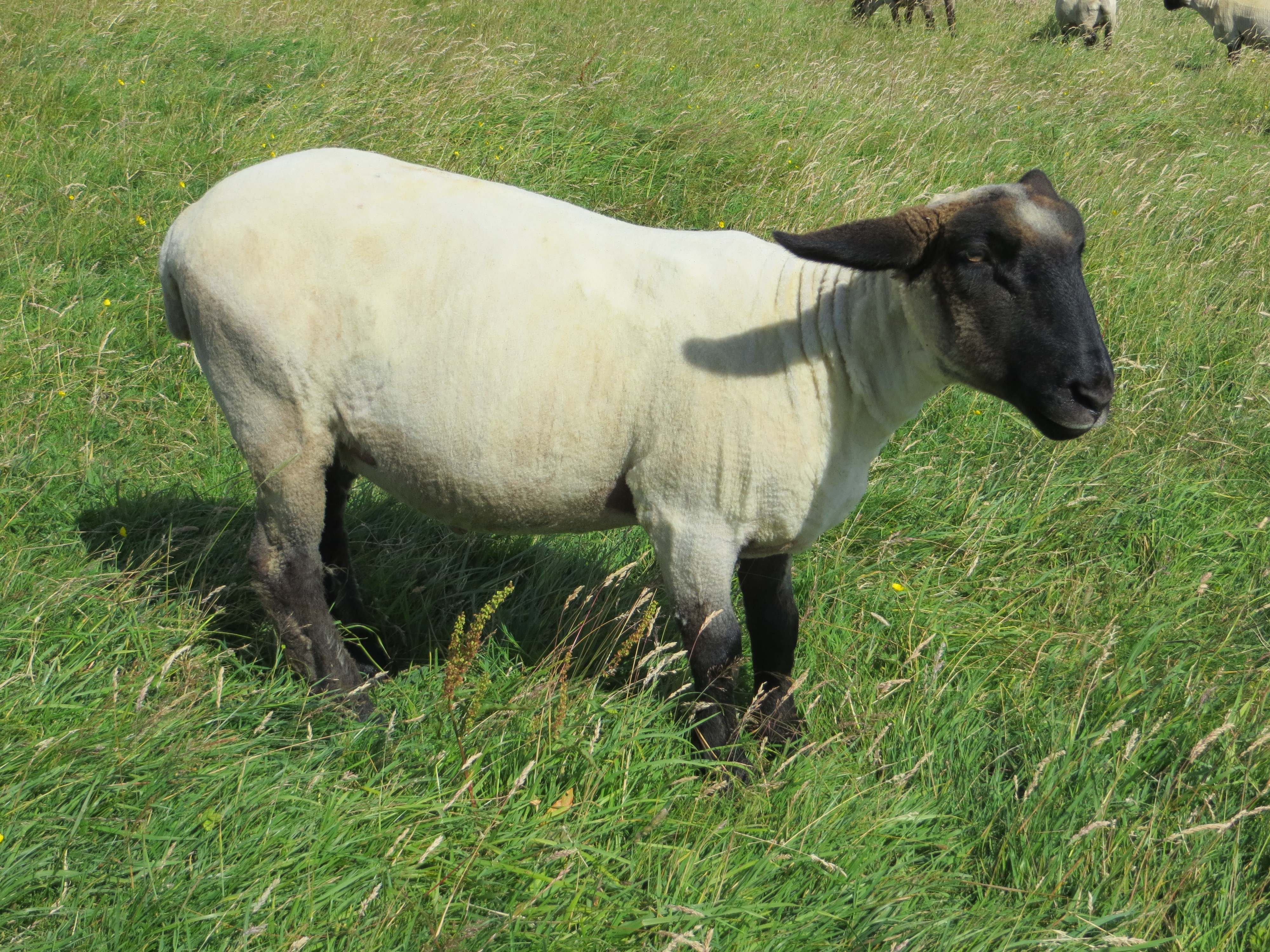 Shiny shorn sheep