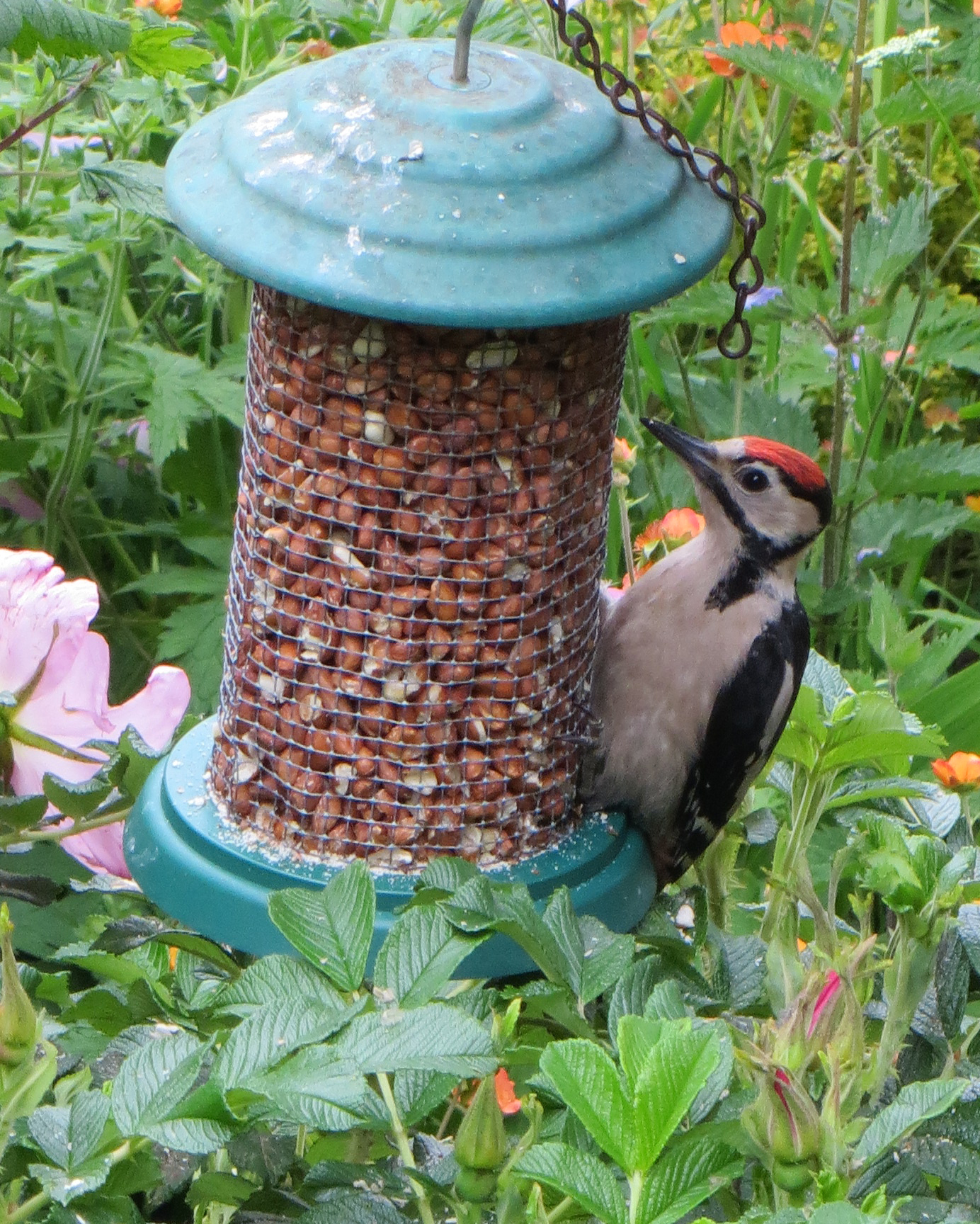 Woodpecker on Peanuts
